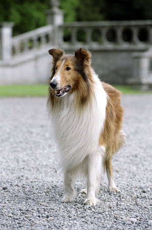 Lassie_2